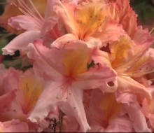 Glendoick Rhododendrons Spectacular Video