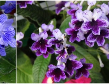 Streptocarpus Video