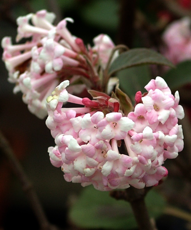 Shrubs Viburnum bodnantense Dawn