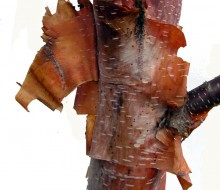 Trees Betula utilis bark