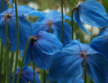 Meconopsis - Himalayan Poppies. Your other national flower!