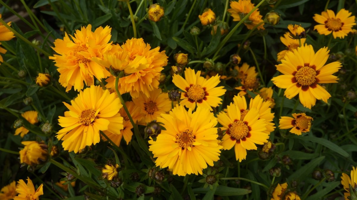 Coreopsis two forms-001