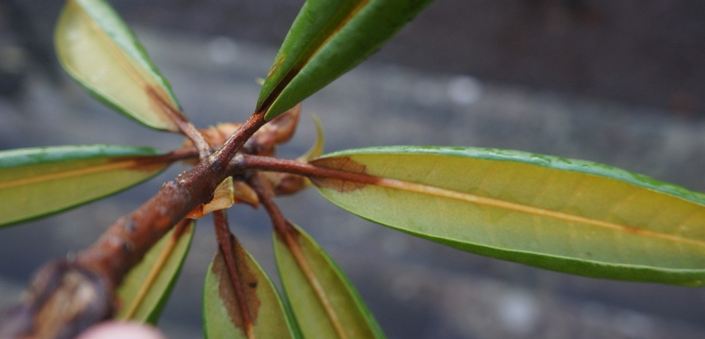 pest-disease Phythopthora ramorum on rhododendron (1)