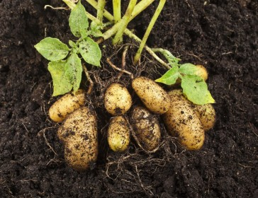 Potato advice for beginners and experts...