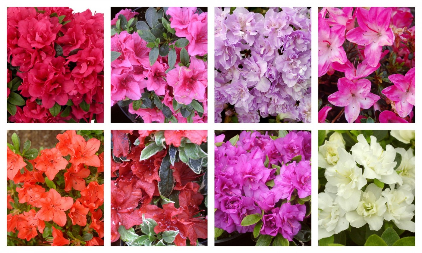 rhododendron Evergreen azaleas collage A-G