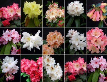 rhododendron Rhododendron Hybrid collage July 2011