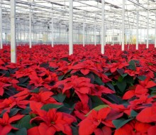 Poinsettias at Glendoick